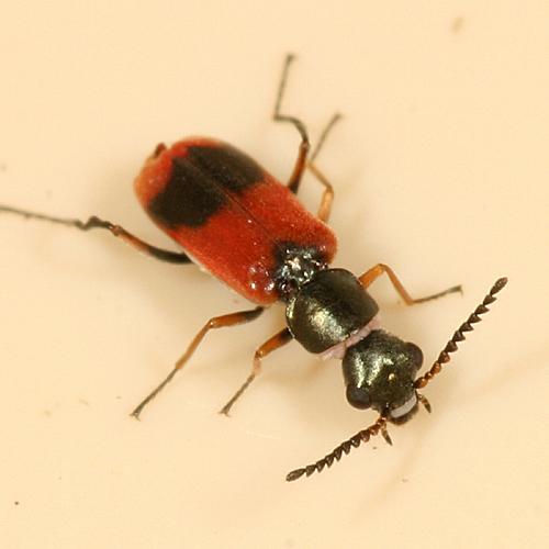 Soft-winged Flower Beetle - Anthocomus equestris
