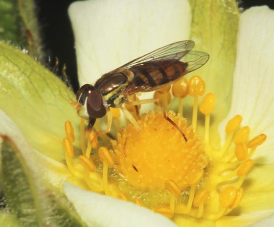 Syrphidae - Toxomerus marginatus - female