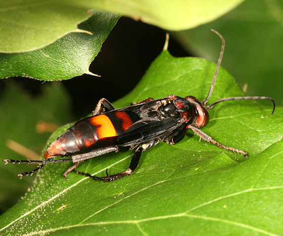 large spider wasp - Poecilopompilus algidus - female