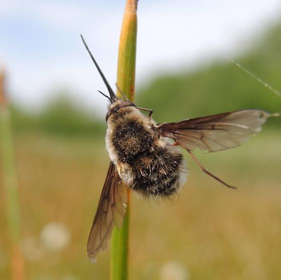 Bee Fly/Cobweb 3 - Bombylius