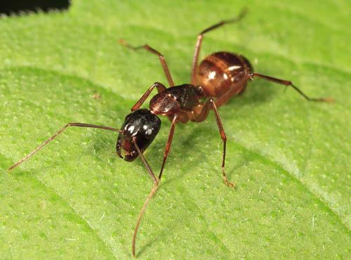 another ant - Camponotus americanus