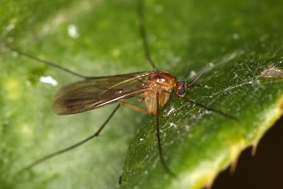 Predatory Fungus Gnat - Orfelia