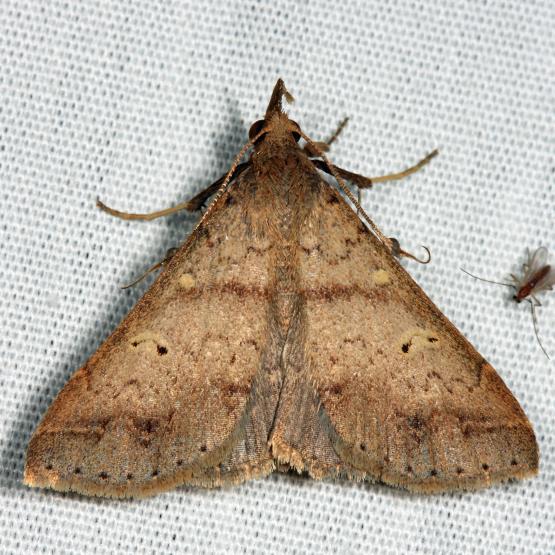 Discolored Renia - Renia discoloralis - male
