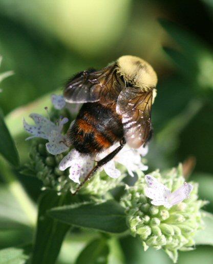 Is this B. rufocinctus? - Bombus rufocinctus