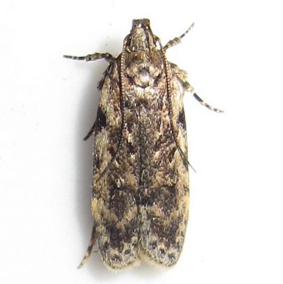 Gelechiid - Hodges #2104 - Chionodes pereyra