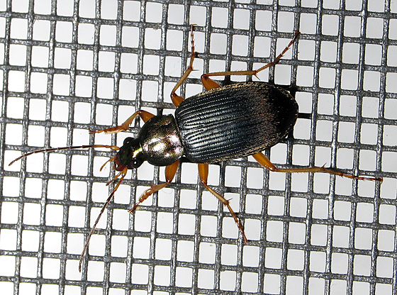 Shiny Beetle - Chlaenius tricolor