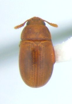 Pentaphyllus pallidus