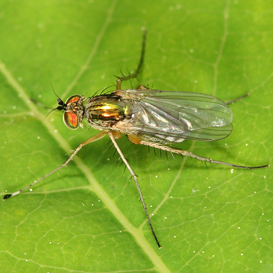 Long-legged fly - Dolichopus - male