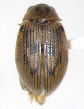 Berosus peregrinus - male