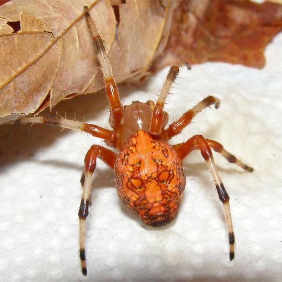 orange spider - Araneus marmoreus - female