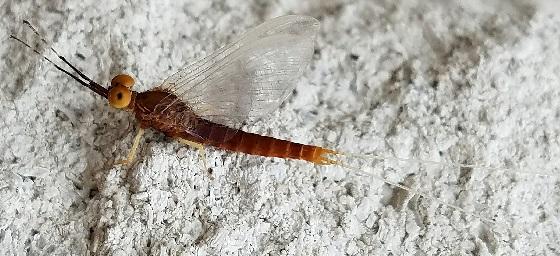 Isonychia bicolor? - Isonychia
