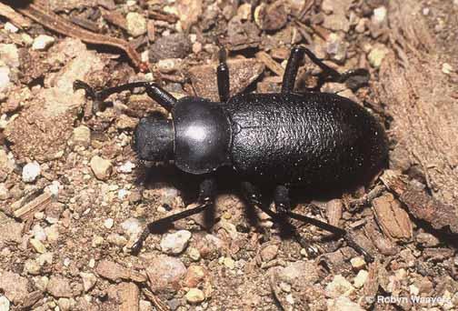 - - Iphthiminus serratus