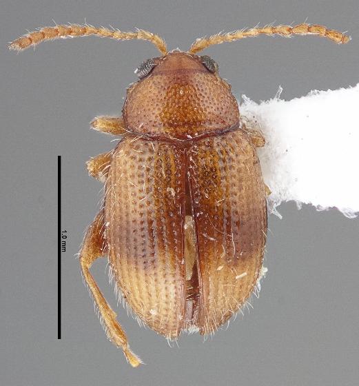 Epitrix fasciata - male