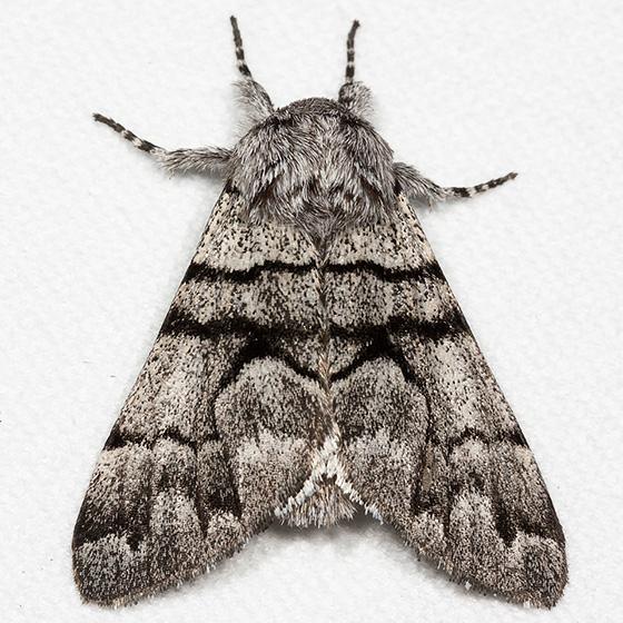 Eastern Panthea - Hodges#9182 - Panthea furcilla
