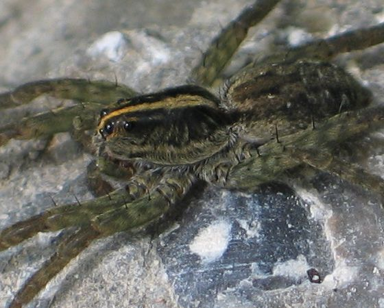 yellow-striped spider - side - Tigrosa helluo