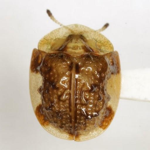 Parorectis callosa (Boheman) - Parorectis callosa