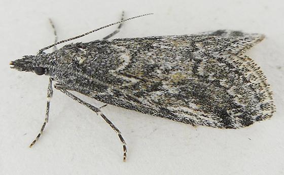 Moth - Arispe cestalis