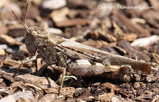 Grasshopper - Chortophaga viridifasciata - female