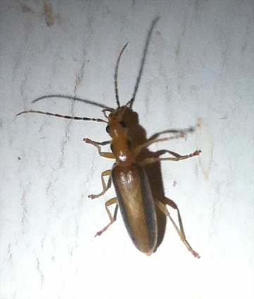 flying brown bugs in house - photo #11