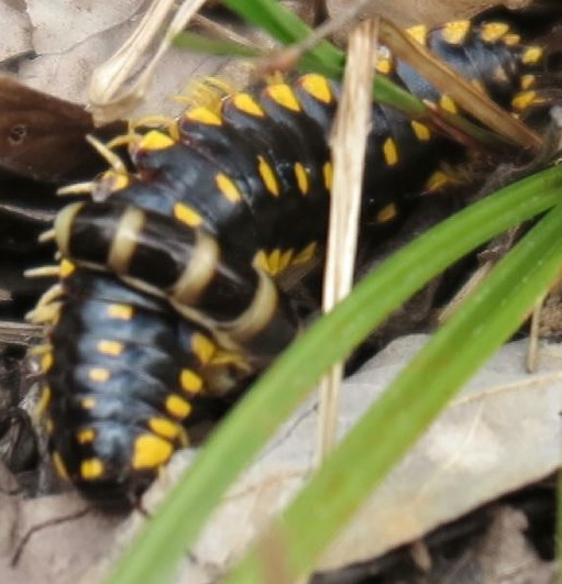 Millipede (Diplopoda) attacked by Phengodid Beetle. Stills from video [https://youtu.be/hwr1Yl35xU4]