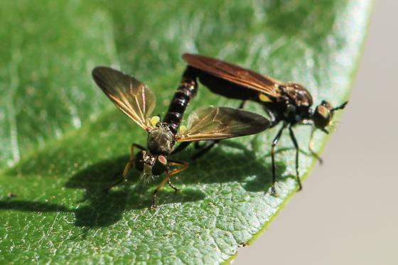 Mating Robber Flies - Eudioctria sackeni - male - female