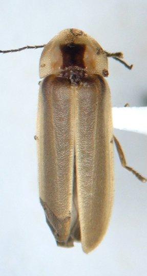 Photinus - female