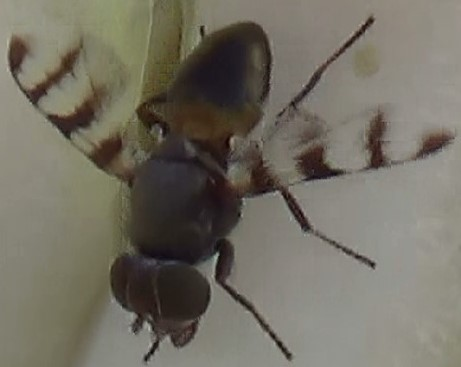 Picture-Wing Profiles - Euxesta - male