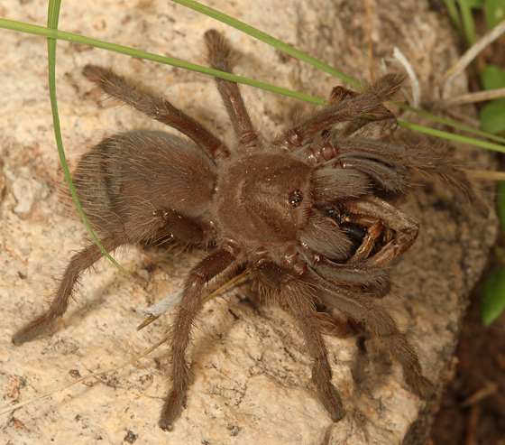 large spider, eating spider - Aphonopelma vorhiesi