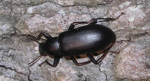 Image result for black beetle