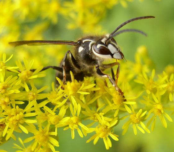 Bald faced hornet - Dolichovespula maculata - male