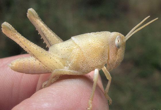 albino grasshopper 1 - Schistocerca