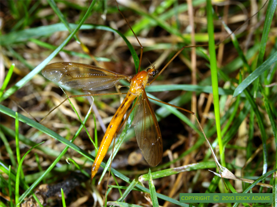 Tipulid in the Lawn - Nephrotoma - female
