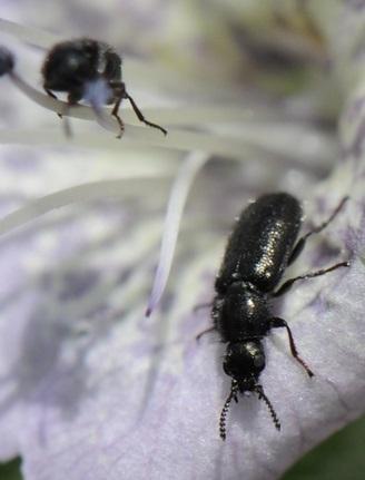 Beetle - Trichochrous aenescens