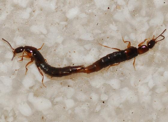 Diochus schaumi - male - female