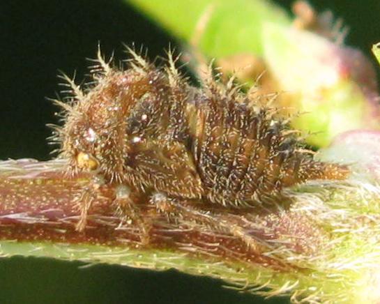 Treehopper nymph - Stictocephala albescens