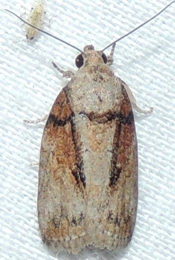 UNK Moth - Garella nilotica