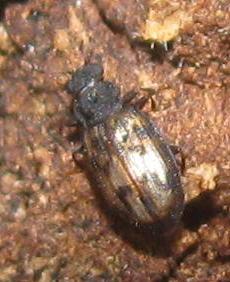 Minute brown scavenger beetle - Enicmus maculatus