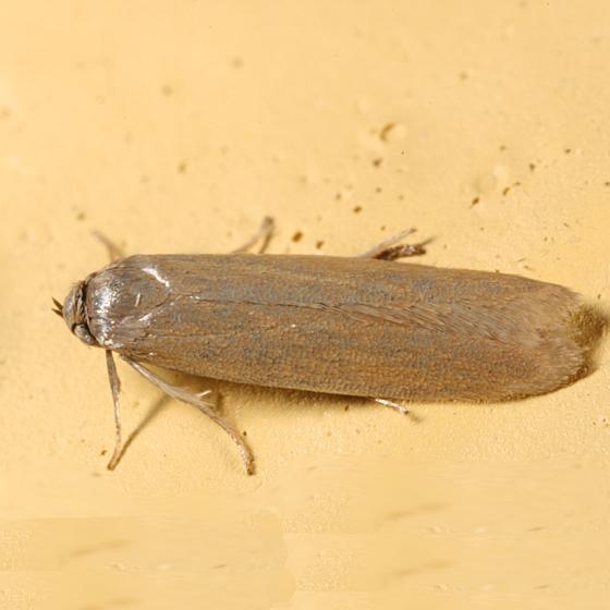moth - Holcocera immaculella