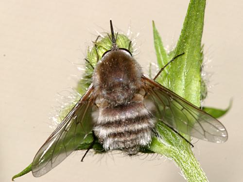 Bombylius species - Bombylius incanus - female