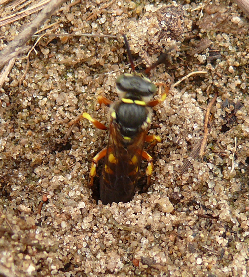 Sand bee or wasp, dorsal - Aphilanthops