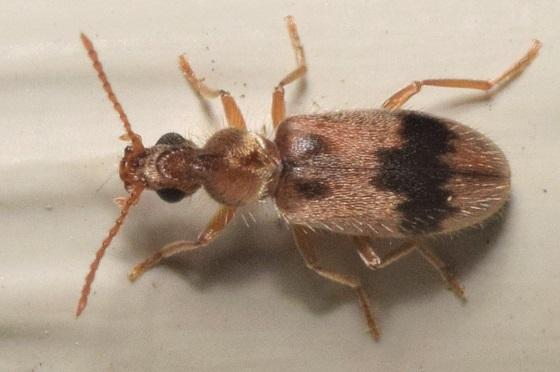 Coleoptera is as far as I got - Notoxus calcaratus