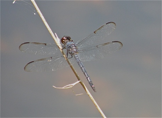 Bar-winged Skimmer? - male