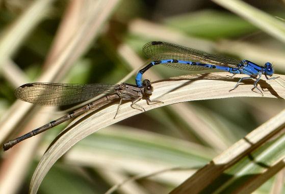 Mating damselflies - maybe Vivid? - Argia - male - female