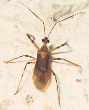 Which Bug ? - Castolus ferox - male