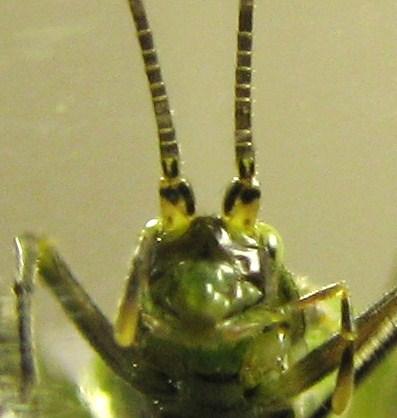 Oecanthus from Dogwood twig - Oecanthus forbesi - male
