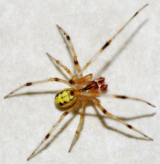 Small Yellow Spider - Theridion - male