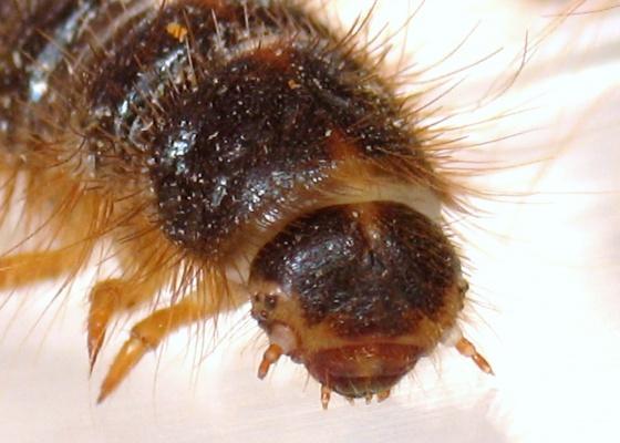 Larval Stowaways - Dermestes