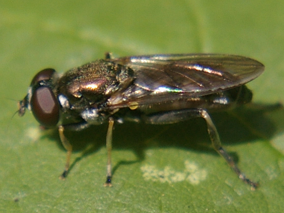 Syrphid Fly - Xylota