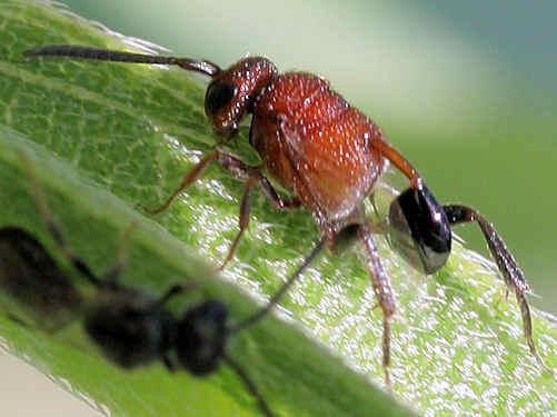 Wasp - Hyptia