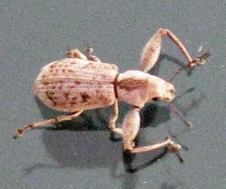 Muscular Beetle - Pandeleteius defectus